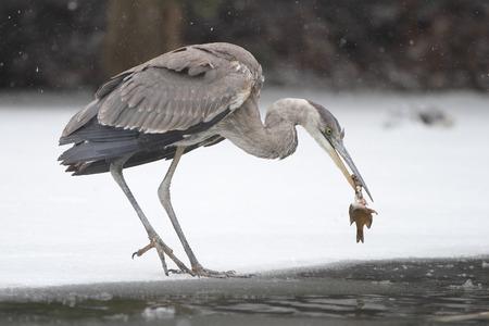 scavenging: Great Blue Heron  Ardea herodias  Scavenging a Dead Fish on Partially Frozen River - Ontario, Canada
