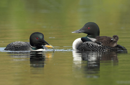 Baby Common Loon  Gavia immer  Riding on its Parent