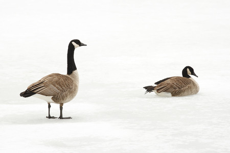 Pair of Canada Geese  Branta canadensis  on an Ice Covered River - Ontario, Canada