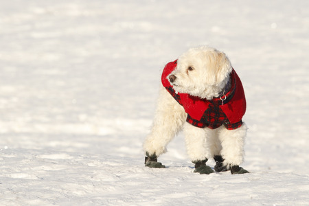White Cockapoo Wearing Red Coat and Boots in Snow photo