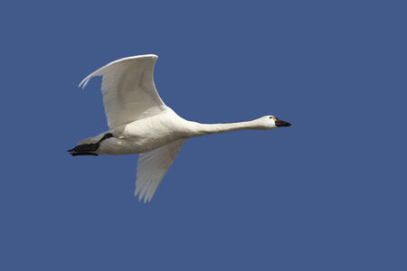 tundra swan: Tundra Swan Flying Overhead in Spring Against a Deep Blue Sky - Ontario, Canada Stock Photo