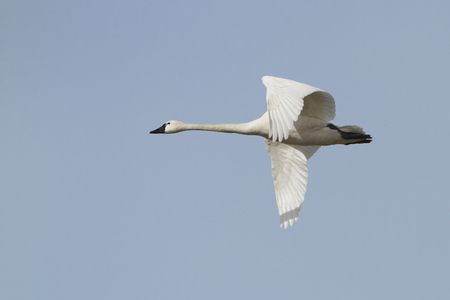 tundra swan: Tundra Swan  Cygnus columbianus  in Flight Against a Blue Sky - Ontario, Canada