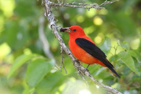 Scarlet Tanager  Piranga olivacea  Eating a Mulberry - High Island, Texas Banco de Imagens