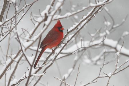cardinal: Male Northern Cardinal  Cardinalis cardinalis  in Winter - Ontario, Canada Stock Photo