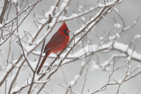 Mannelijke Northern Cardinal cardinalis in Winter - Ontario, Canada Stockfoto