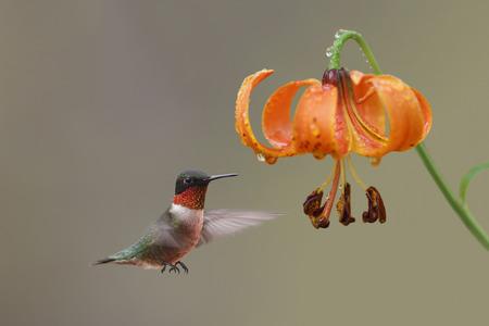 Ruby-throated Hummingbird  Archilochus colubris  Hovering Next to Michigan Lily  Lilium michiganensis  - Ontario, Canada 写真素材