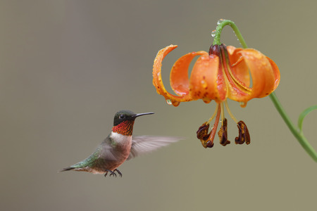 ruby throated: Ruby-throated Hummingbird  Archilochus colubris  Hovering Next to Michigan Lily  Lilium michiganensis  - Ontario, Canada Stock Photo