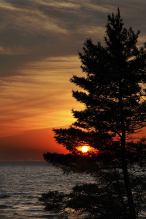 huron: White Pine  Pinus strobus  on Shore of Lake Huron at Sunset - Pinery Provincial Park, ON, Canada