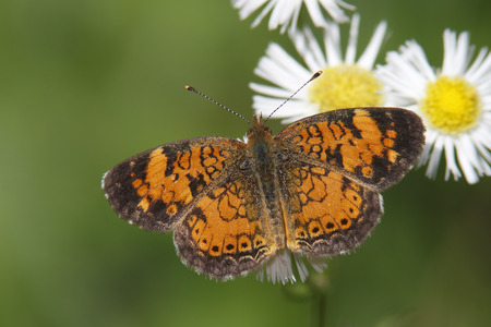 ox eye: Pearly Crescentspot  Phyciodes tharos  on Ox-eye Daisy - Ontario, Canada