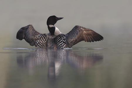 gavia: Common Loon  Gavia immer  Rising out of Water on a Misty Lake - Ontario, Canada