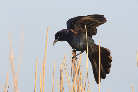 irridescent: Great-tailed Grackle (Quiscalus mexicanus) - Texas