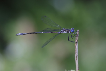 spotted: Spotted Spreadwing (Lestes congener) Perched on a Twig - Haliburton, Ontario