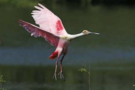roseate: Roseate Spoonbill (Platalea ajaja) Landing in a Marsh - High Island, Texas