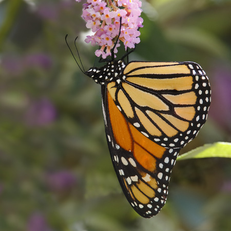 mutualism: Monarch Butterfly (Danaus plexippus) Nectaring on a Butterfly Bush