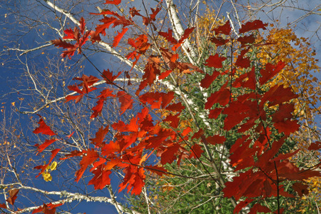 Red Oak Leaves and White Birch Branches Against a Blue sky - Ontario, Canada photo