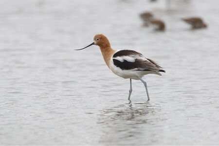 avocet: American Avocet (Recurvirostra americana) wading in a shallow pond - Texas