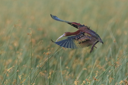 long faced: White-faced Ibis (Plegadis chihi) in Breeding Plumage Landing in a Marsh - Texas Stock Photo