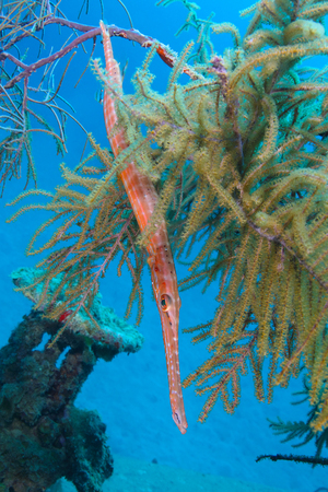 gorgonian: Trumpetfish (Aulostomus maculatus) Hiding in Gorgonians on a Shipwreck - Roatan, Honduras