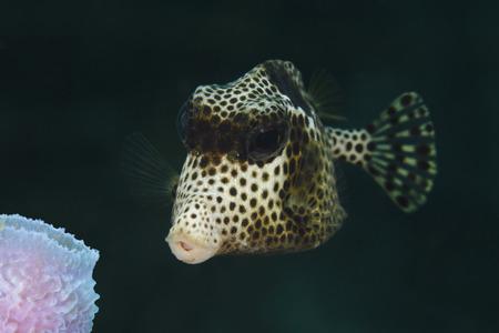 ichthyology: Closeup of Spotted Trunkfish (Lactophrys bicaudalis) - Roatan, Honduras