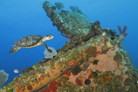 brilliant   undersea: Hawksbill Turtle (Eretmochelys imbricata) swimming over a coral encrusted shipwreck - Roatan, Honduras