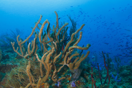 gorgonian: School of Creole Wrasse (Clepticus parrae) Over a Tropical Coral Reef - Roatan, Honduras Stock Photo