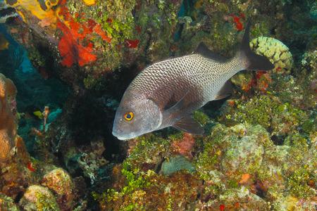 ichthyology: Black Margate (Anisotremus surinamensis) on a Coral Reef - Roatan, Honduras Stock Photo