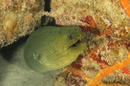 saltwater eel: Green Moray (Gymnothorax funebris) being cleaned by a pair of Neon Gobies (Gobiosoma oceanops) - Roatan, Honduras