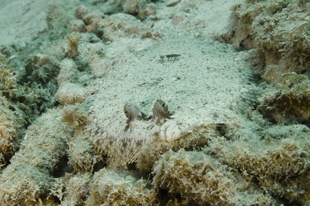 Peacock Flounder (Bothus mancus) hiding on a sandy ocean bottom - Roatan, Honduras photo