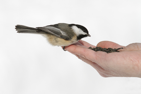 chickadee: Black-capped Chickadee Eating Seeds From a Hand