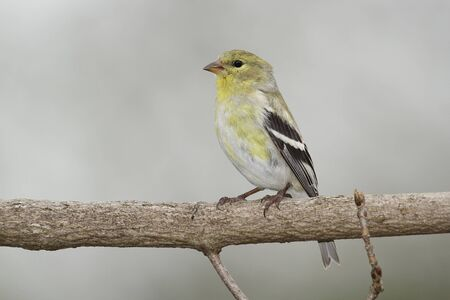 middlesex: Male American Goldfinch (Spinus tristus) in Spring Moult - Ontario, Canada