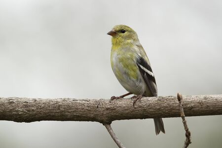 goldfinch: Male American Goldfinch (Spinus tristus) in Spring Moult - Ontario, Canada