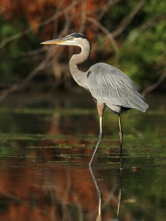 Great Blue Heron (Ardea herodias) Wading in a Shallow River - Ontario, Canada Stock Photo