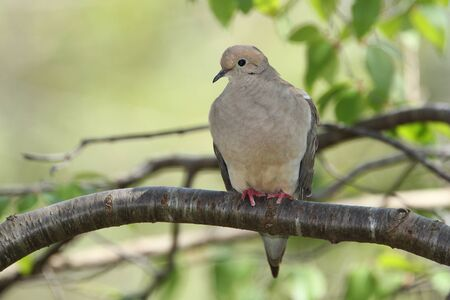 middlesex: Mourning Dove (Zenaida macroura) Perched on a Tree Branch in Summer - Ontario, Canada