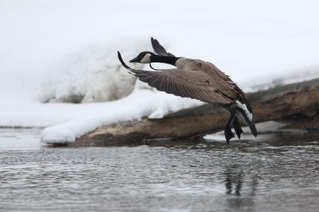 webbed feet: Canada Goose (Branta canadensis) Landing on a River in Winter - Ontario, Canada