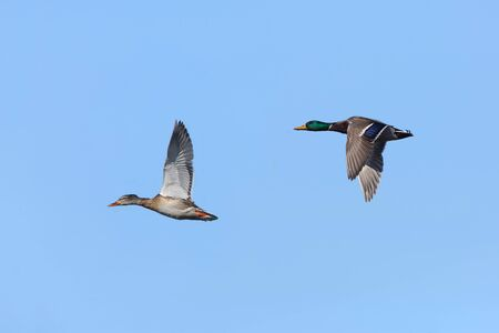 anas platyrhynchos: Pair of Mallards (Anas platyrhynchos) in Flight Against a Blue Sky Stock Photo