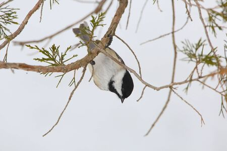 poecile: Black-capped Chickadee (Poecile atricapillus) Hanging Upside Down from a Red Cedar Branch in Winter - Ontario, Canada