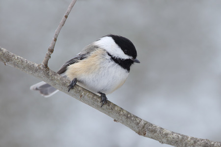 poecile: Black-capped Chickadee (Poecile atricapillus) Perched on a Branch in Winter - Ontario, Canada