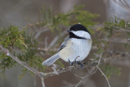 chickadee: Black-capped Chickadee (Poecile atricapillus) Perched in a Red Cedar Tree in Winter - Ontario, Canada