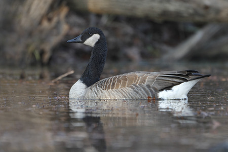 canada goose: Canada Goose (Branta canadensis) Swimming on a River Stock Photo
