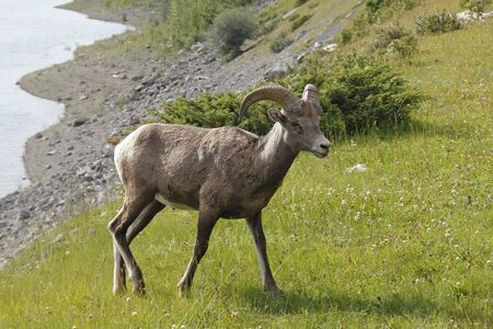 rocky mountain bighorn sheep: Rocky Mountain Bighorn Sheep (Ovis canadensis) - Jasper National Park, Alberta, Canada