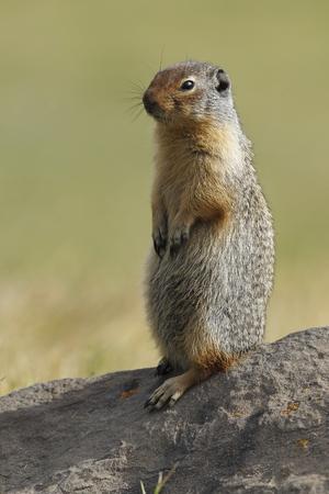 Columbian Ground Squirrel (Urocitellus columbianus) Scouting its Territory - Banff National Park, Alberta, Canada
