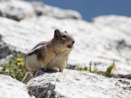 Golden-mantled Ground Squirrel (Callospermophilus lateralis) Calling to Establish its Territory - Jasper National Park, Alberta, Canada