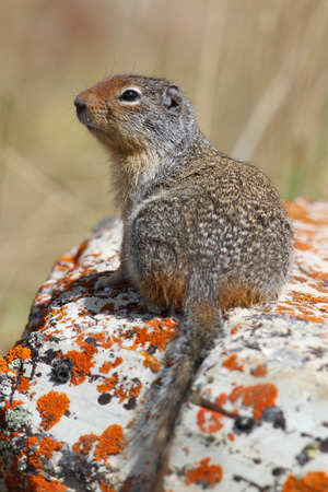 columbian: Columbian Ground Squirrel (Urocitellus columbianus) perched on a lichen-covered rock - Waterton Lakes National Park, Alberta, Canada
