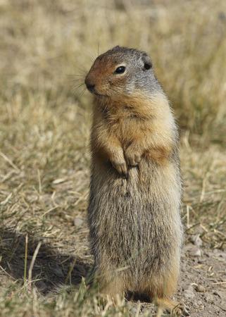columbian: Columbian Ground Squirrel (Urocitellus columbianus) standing on its hind legs - Banff National Park, Alberta, Canada Stock Photo