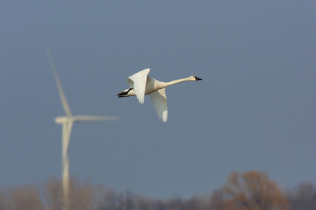 tundra swan: Tundra Swan (Cygnus columbianus) in flight with a wind turbine In the background - Ontario, Canada