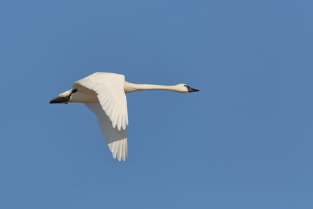 pinery: Tundra Swan (Cygnus columbianus) Flying Against a Blue Sky - Ontario, Canaeda