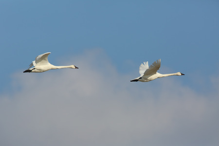 tundra swan: Pair of Tundra Swans (Cygnus columbianus) Flying Against a Blue Sky - Ontario, Canada