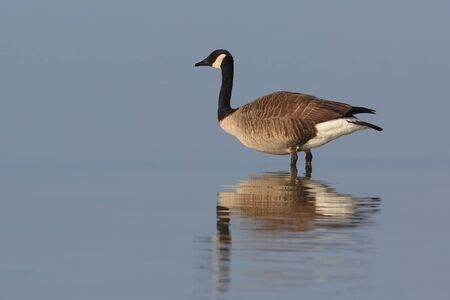 canadensis: Canada Goose (Brenta canadensis) standing in shallow water with reflection - Ontario  Canada