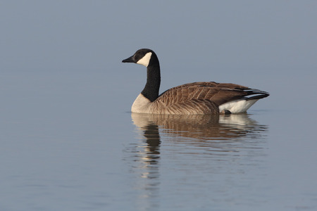 canadensis: Canada Goose (Brenta canadensis) with reflection swimming on Lake Huron - Ontario  Canada