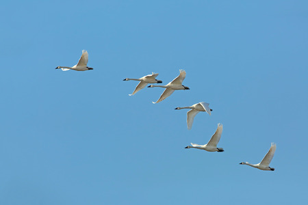 Flock of Tundra Swans migrating in spring against a blue sky - Ontario, Canada Stock Photo